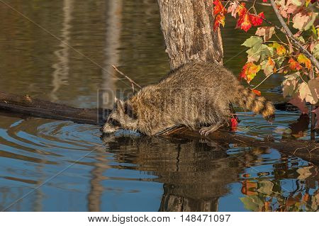 Raccoon (Procyon lotor) Looks Out from Log in Pond - captive animal