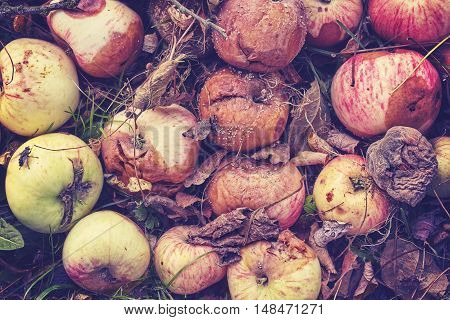 Vintage Toned Picture Of Rotten Apples In Garden.