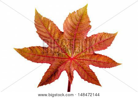 Castorbean leaf. Castor oil plant, Ricinus communis, medical and pharmaceutical plant. Colorful autumn leaves isolated on white. poster