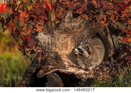 Raccoon (Procyon lotor) Inside Log - captive animal