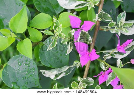Bougainvillea Paper flower purple beautiful natural in garden