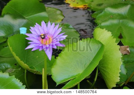 Lotus lilly purple on water selective focus and soft background with bee motion beautiful