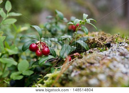Cowberry (Vaccinium vitis-idaea) growing in woods, Finland