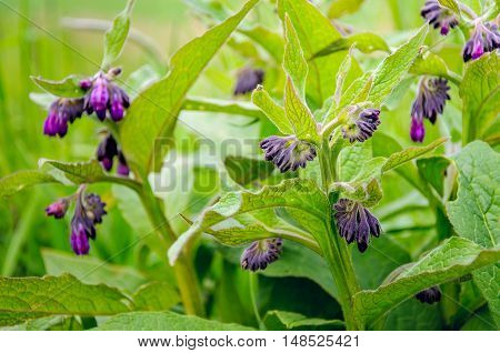 Closeup of a dark purple budding Common Comfrey or Symphytum officinale in its own natural environment.