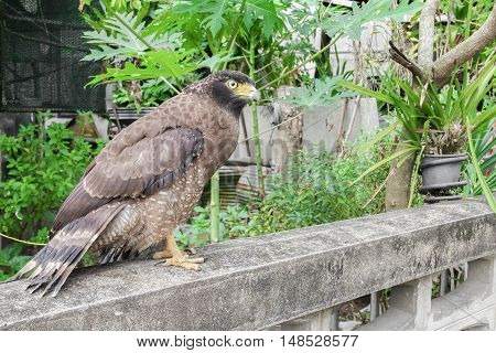 A Close-up Falcon Peregrine and soft-focus blurred background