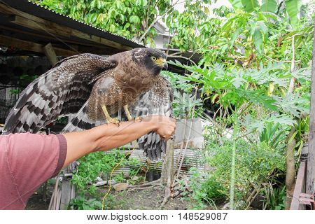 Falcon Peregrine sitting on hand Beautiful .