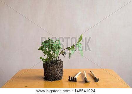 Sprout of basil and a garden tool kit on a wooden table.