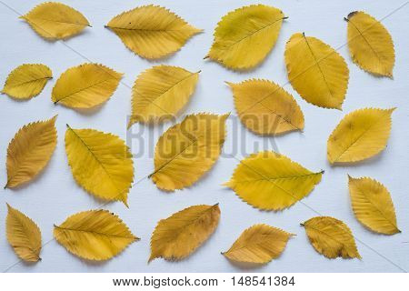Yellow autumn leaves on a white board. Shot from above. Can be used as a background.