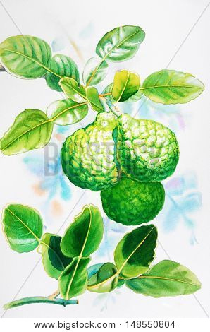 Watercolor painting original realistic herb of kaffir lime and green leaves in blue background. Original painting