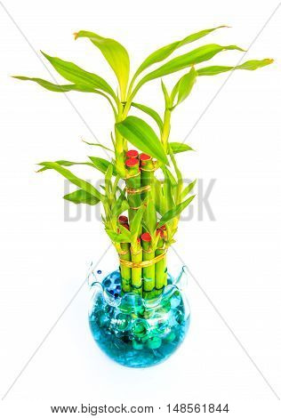 The Lucky  bamboo. in pots on white background