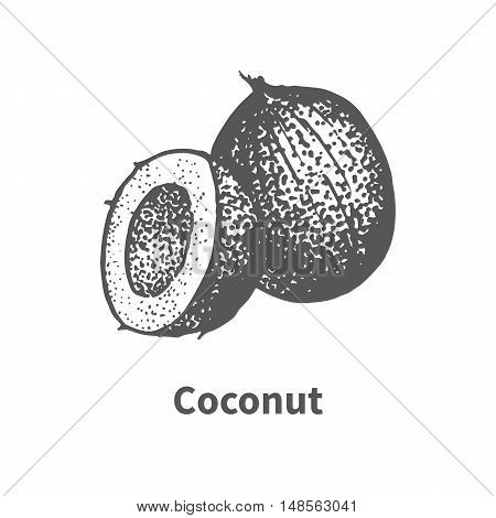 Vector illustration doodle sketch hand-drawn coconut. Isolated on white background. Fruit painted dots and lines. The concept of gardening and harvesting.