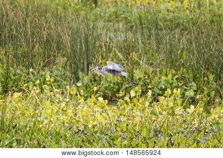 Great Blue Heron flies away with eel snagged in freshwater wetlands
