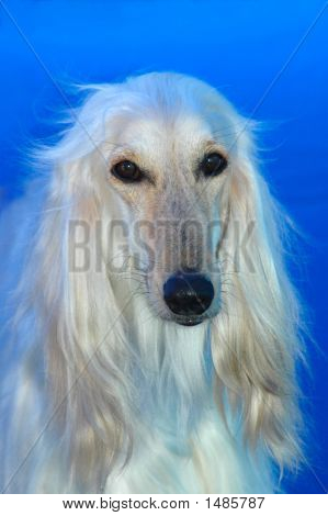A beautiful Afghan hound dog head portrait watching other dogs poster