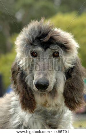 Afghan Puppy Dog