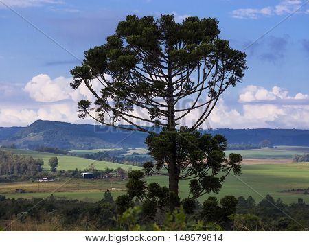 Araucaria tree (Araucaria angustifolia) in rural Tamarana County State of Parana Brazil