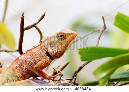 Brown thai lizard on the tree, reptile amimal