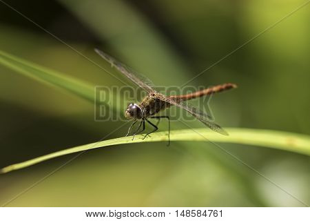Male common darter dragonfly (Sympetrum striolatum) against soft green background.