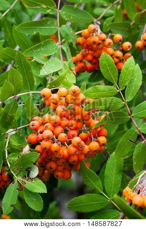 colorful Background with vibrant color ripe Rowan berries, Mountain ash or Sorbus tree