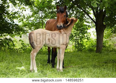 foal playing with her mother horse, foal and adult horse