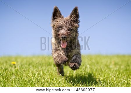 Cairn Terrier Dog Outdoors In Nature