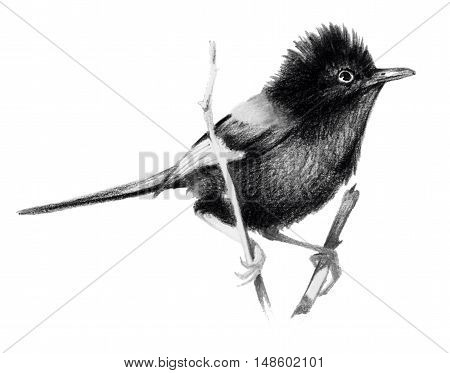 Red backed fairy wren sitting on a branch. Pencil drawing isolated on white background