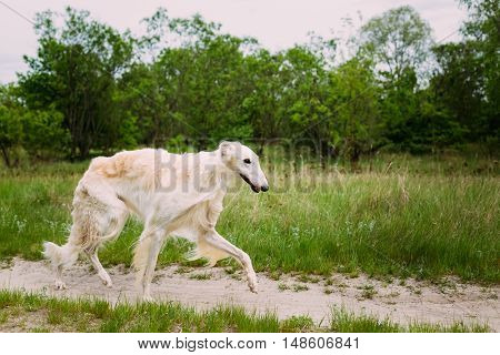 White Russian Borzoi, Hunting Dog walking in forest.