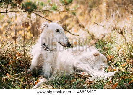 White Russian Borzoi, Russian Hunting dog sit in autumn grass. Russkaya Psovaya Borzaya, Psovoi.
