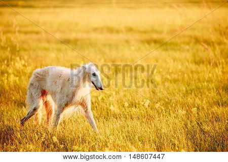 Wet White Russian Dog, Borzoi Walking Running In Summer Sunset Sunrise Meadow Or Field