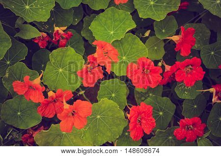 Vintage Photo Of Beautiful Nasturtium Flowers