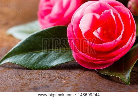Pink japanese camellia flowers with leaves on rustic background. Closeup, copy space Background with free space for text. Selective focus
