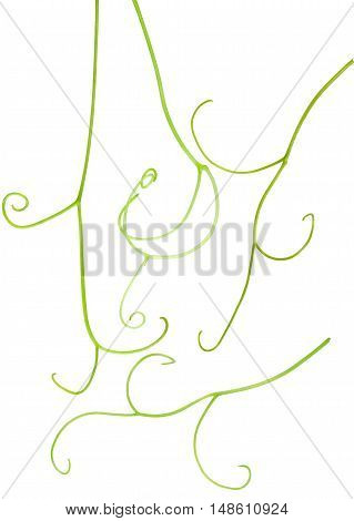 grape tendrils isolated on the white background.