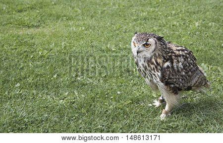 Eurasian eagle-owl (Bubo bubo) Zoo Jihlava, cz
