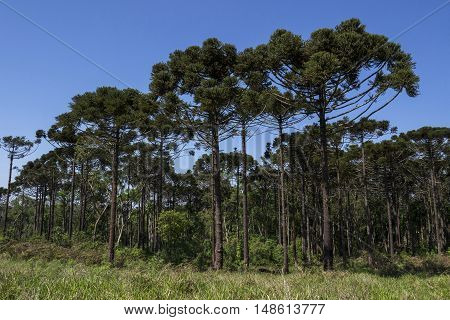 Araucaria tree (Araucaria angustifolia) Pine coniferous Londrina