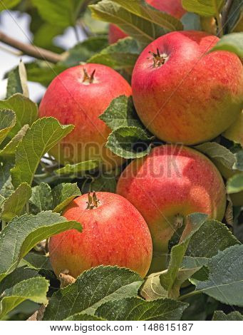 ripe red apples in the late summer