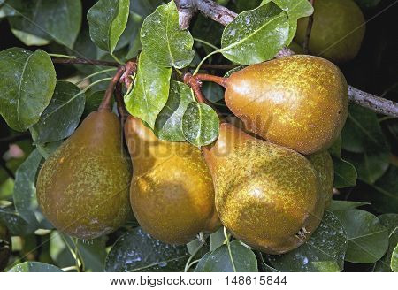 ripe juicy pears in the late summer