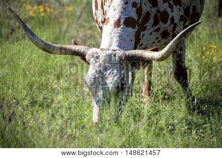 A Texas Longhorn grazes in a field with wild flowers.