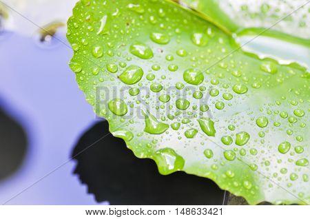 dew drop on green lotus leaf, dew drop
