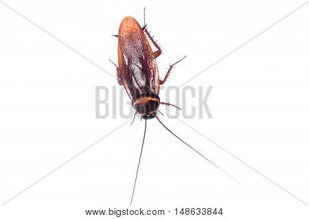 insect cockroach animal lying  on white background