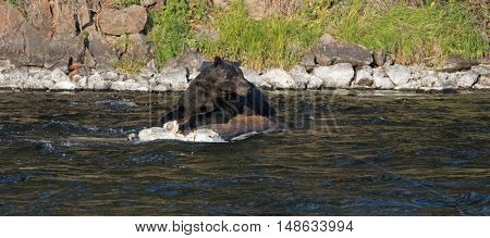 Grizzly Bear Boar warily watching for intruders while feeding on a dead Buffalo carcass in the Lehardy Rapids of the Yellowstone River in the Hayden Valley of Yellowstone National Park in Wyoming USA