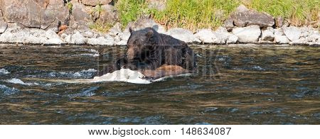 Grizzly Bear Boar watching for intruders while on a dead Buffalo carcass in the Lehardy Rapids of the Yellowstone River in the Hayden Valley of Yellowstone National Park in Wyoming USA