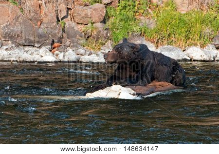 Grizzly Bear Boar guarding his meal while on a dead Buffalo carcass in the Lehardy Rapids of the Yellowstone River in the Hayden Valley of Yellowstone National Park in Wyoming USA