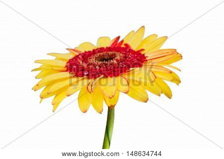 Gerber yellow Daisy isolated on white background