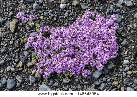 Flower Thymus Praecox on black lava sand and pebbles in Iceland.