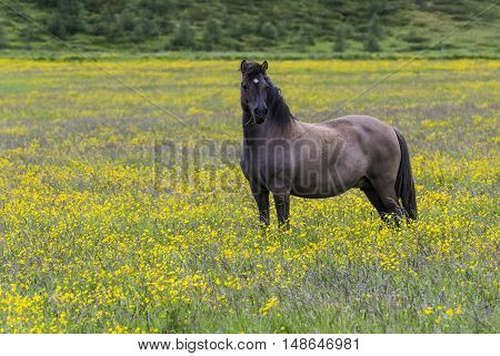Islandic horse in yellow flower maedow near Godafoss waterfall on Iceland.