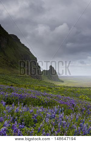 Huge field of purple lupine flowers and mountains with sunlight in the background on Iceland near the village of Vik.