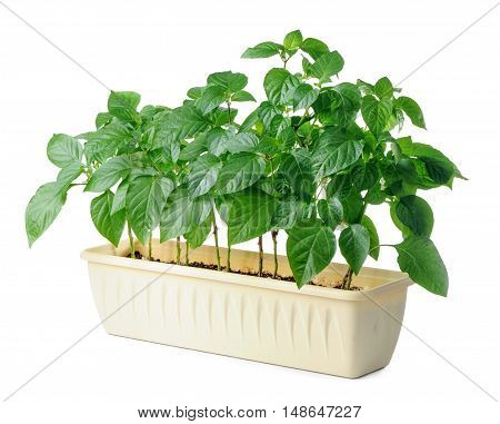 young bell pepper seedling in plastic box isolated on white background