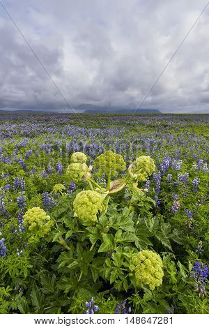 Purple lupine field with green hogweed mountains and cloudy sky at Vik.