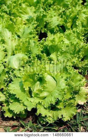 Green Heads Of Lettuce