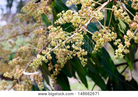 Young Green Mango And Flowers On Tree In Garden. Selective Focus