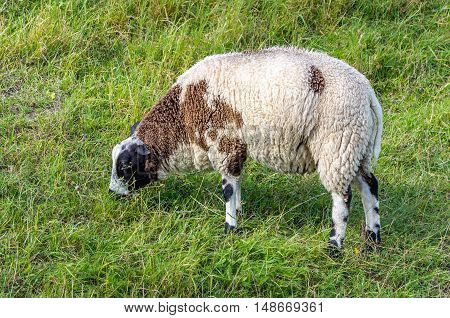 Closeup of one woolly brown spotted sheep grazing in the grass on a sunny meadow in the summer season.